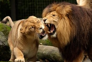 lions_fighting